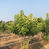 18公分金葉復葉槭價格 江蘇金葉復葉槭基地