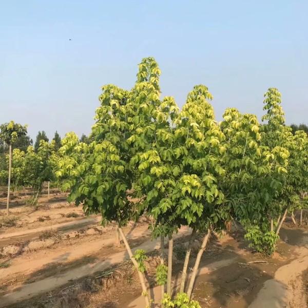 18公分金叶复叶槭价格 江苏金叶复叶槭基地