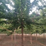 12公分金叶复叶槭价格 江苏金叶复叶槭基地