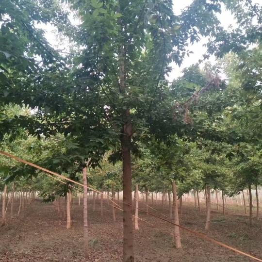12公分金葉復葉槭價格 江蘇金葉復葉槭基地