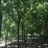 15公分金叶复叶槭价格 江苏金叶复叶槭基地