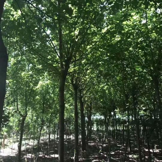 15公分金葉復葉槭價格 江蘇金葉復葉槭基地