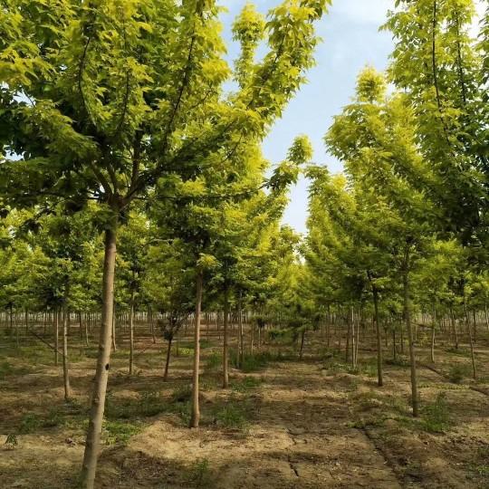 18公分青葉復葉槭價格 江蘇復葉槭基地