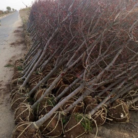 15公分紅寶石海棠價格 江蘇海棠基地