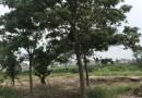 8公分重阳木价格 江苏重阳木基地