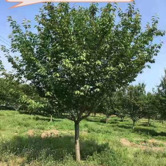 13-16公分樱花树价格 江苏樱花树基地