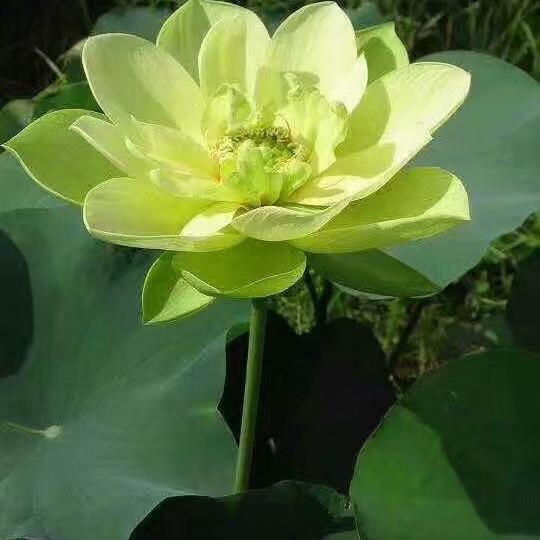 黄花碗莲价格 江苏水生植物基地