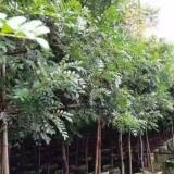 清香木价格 清香木多少钱一棵?