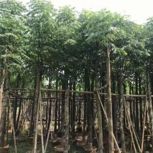 黄山栾树多少钱一棵 黄山栾树价格