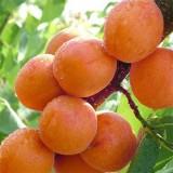 凯特杏树苗价格