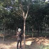 12公分红榉树价格  江苏沭阳三叶基地