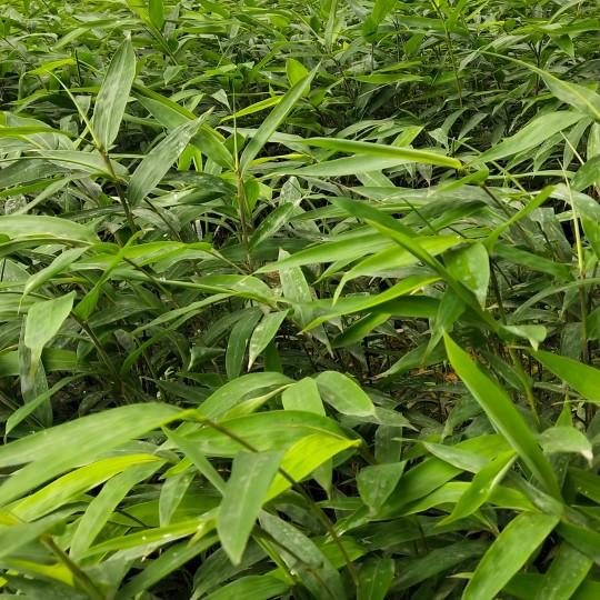 正宗黃皮竹方竹袋苗價格