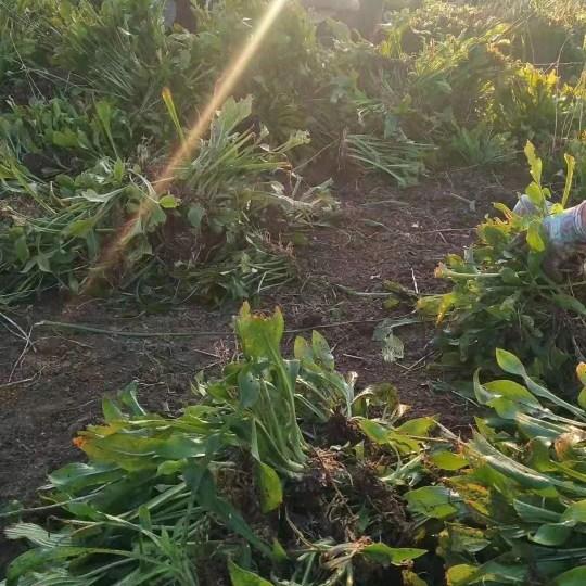 青葉玉簪基地批發,花葉玉簪價格