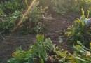 青叶玉簪基地批发,花叶玉簪价格