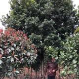 米徑20公分楊梅樹價格