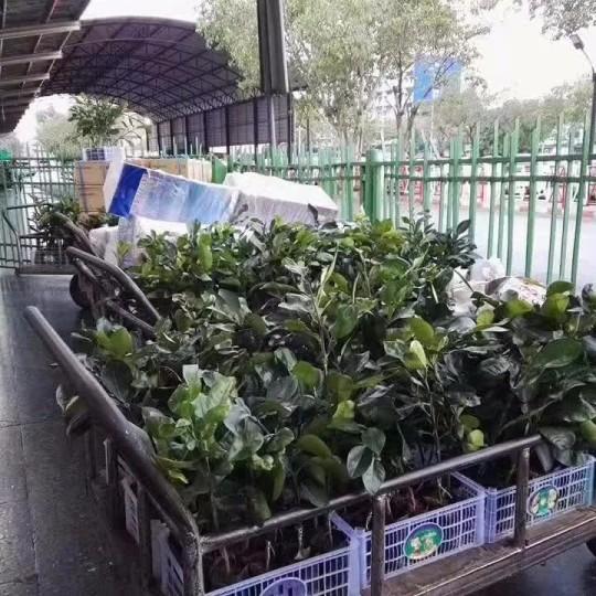 泰国红宝石青柚