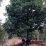 20公分澳洲火焰木價格 澳洲火焰木多少錢一棵