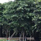 20公分大叶榕价格 漳州大叶榕哪里卖