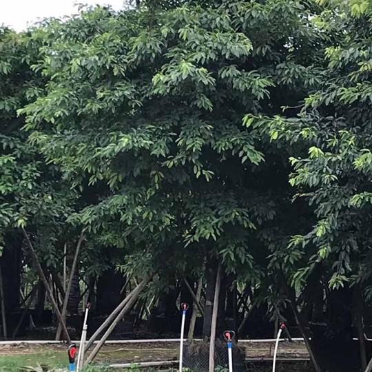 20公分大葉榕價格 漳州大葉榕哪里賣