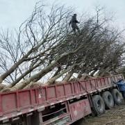 红榉树价格 米径18公分红榉树