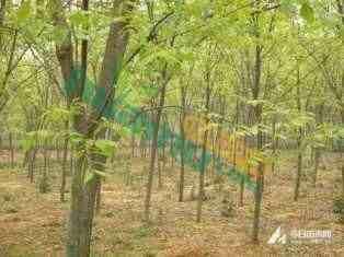 句容18公分榉树价格