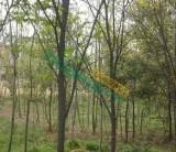 红榉树23公分