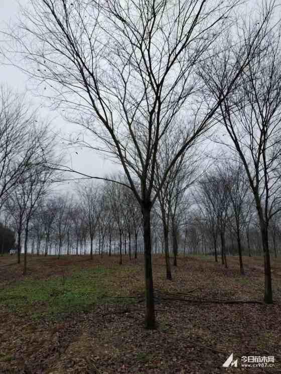 2019年句容榉树价格 句容榉树基地