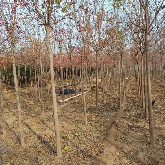 3公分絲綿木價格 江蘇絲棉木基地