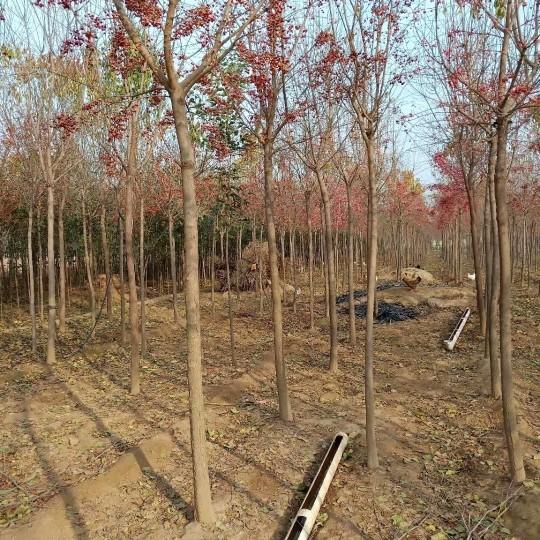 12公分絲綿木價格 江蘇絲棉木基地