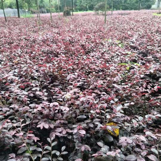 成都红花继木小苗价格 红花继木杯苗基地实拍