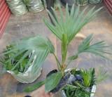 蒲葵袋苗多少钱一棵 福建蒲葵袋苗价格