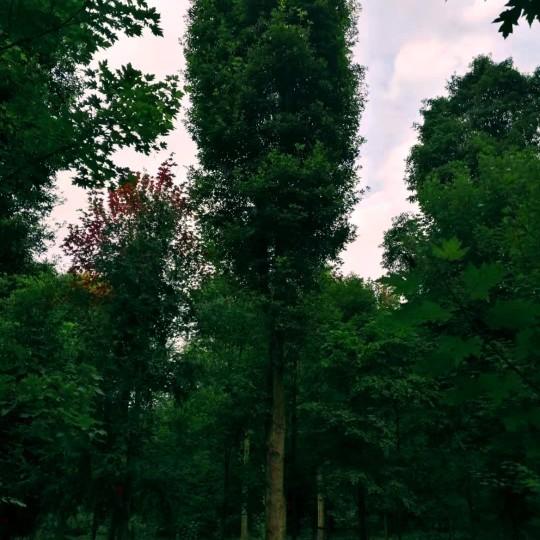 大楠木,桢楠,金丝楠木