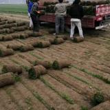 冷季型草坪价格 早熟禾高羊茅草坪基地批发