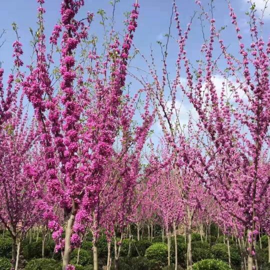 紫荆(巴干红)