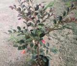 红花继木袋苗多少钱一棵 福建红花继木袋苗价格