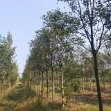 12公分臭椿树价格 江苏臭椿树基地