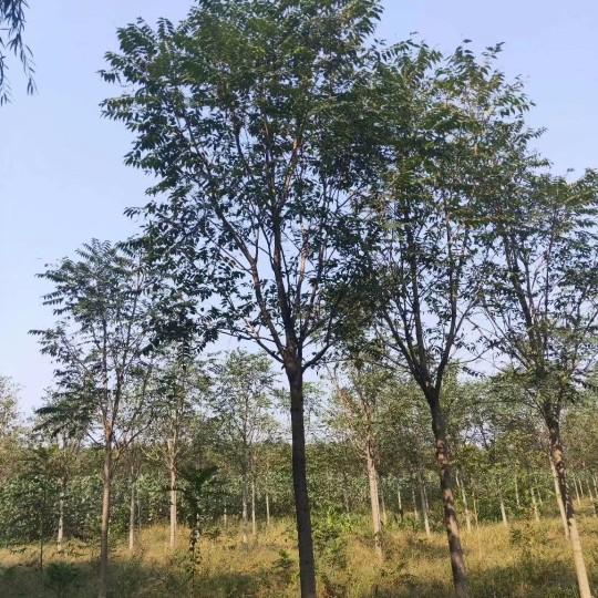 15公分臭椿树价格 江苏臭椿树基地