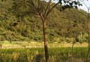 4公分合欢树价格 江苏合欢树基地