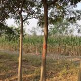 10公分合欢树价格 江苏合欢树基地