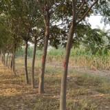 12公分合欢树价格 江苏合欢树基地