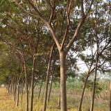 15公分合欢树价格 江苏合欢树基地