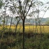 18公分合欢树价格 江苏合欢树基地