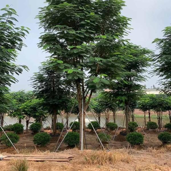 福建15公分鳳凰木價格 鳳凰木多少錢一棵