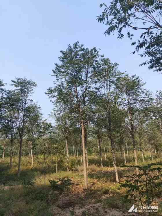 12公分臭椿樹價格 江蘇臭椿樹基地