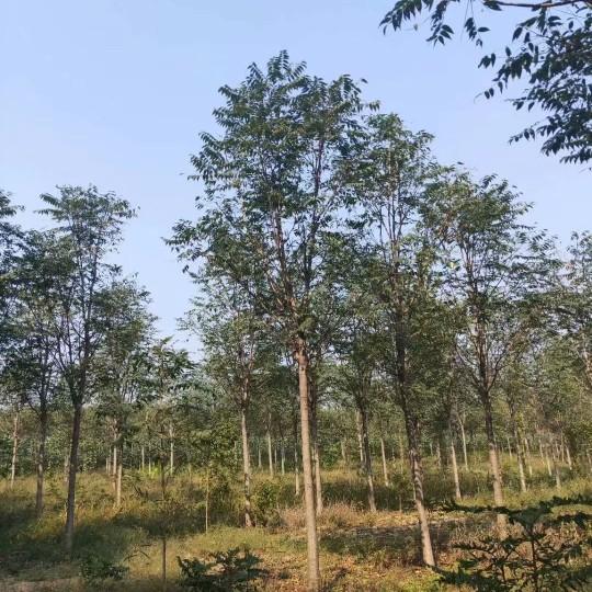 18公分臭椿树价格 江苏臭椿树基地