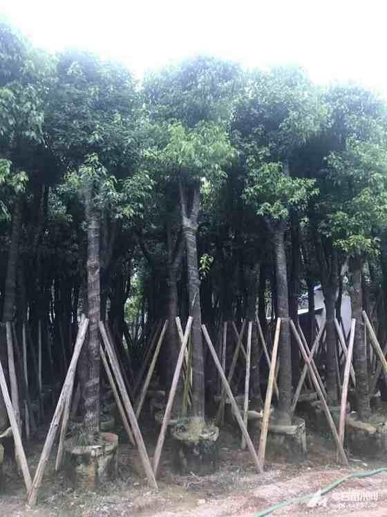福建米徑15公分骨架香樟價格 骨架香樟基地直銷