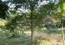 18公分朴树多少钱一棵
