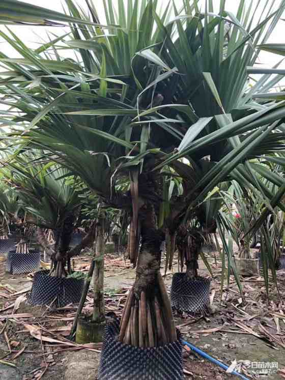 高1.8米多头红刺林投价格 福建多头红刺林投多少钱一棵