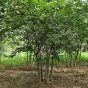 14公分丛生朴树移栽苗