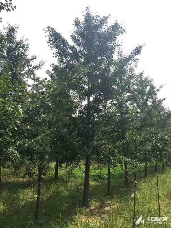12公分银杏树价格 江苏银杏树基地